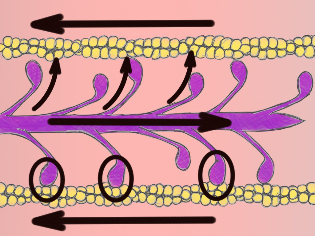 Soft Tissue Therapy - Actin and Myosin - Sliding Filament Theory