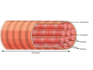 Soft Tissue Therapy - Inside a Muscle Fiber - Sarcomere