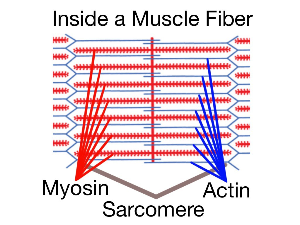 Soft Tissue Therapy - Inside a Muscle Fiber - The Sarcomere - Home of the Actin and Myosin
