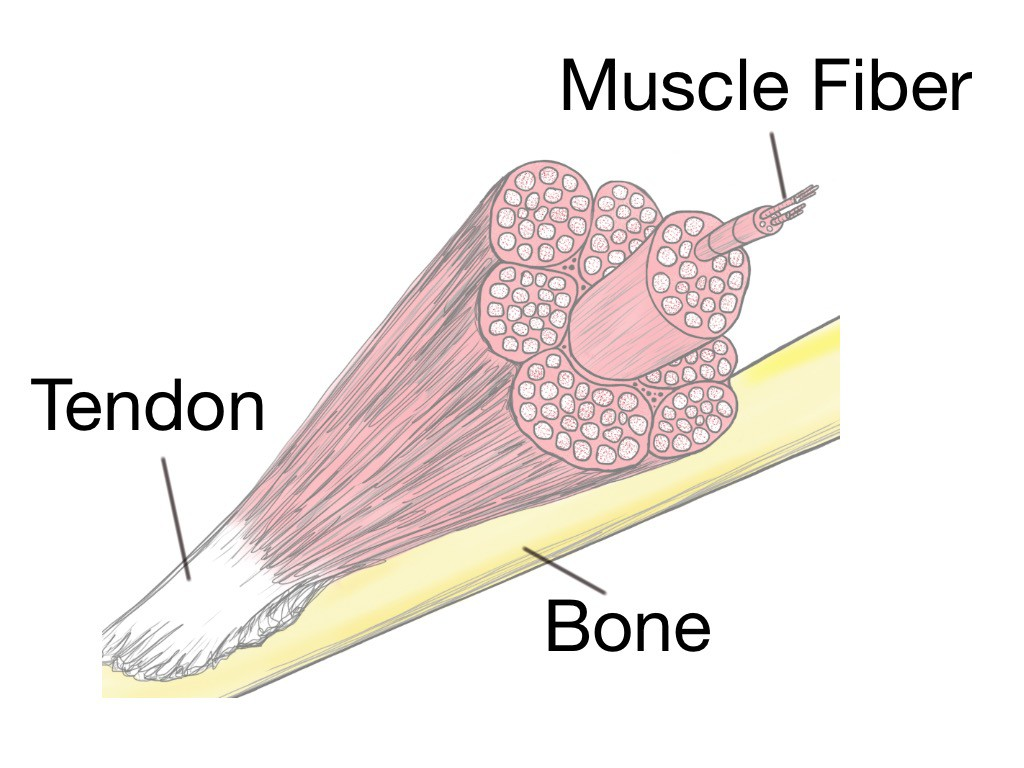 Soft Tissue Therapy - Physiology - Bone - Tendon - Muscle Fiber